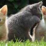 Jak powinna wyglądać hodowla kotów egzotycznych?